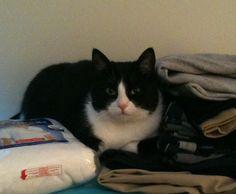 Tuxedo Cat 10 --- Cute kittens pics