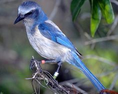 Florida Scrub Jay- I see them at the barn all the time. So pretty!