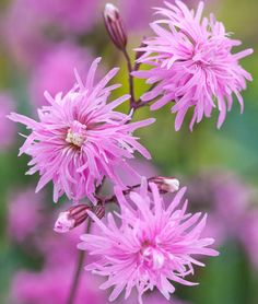 Lychnis Flos-Cuculi 'Petite Jenny' (Ragged Robin) is a compact, tufted perennial with exquisite clusters of double, soft lavender-pink flowers born on upright, slender, leafy stems.