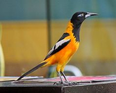 The Venezuelan Troupial, (Icterus icterus) ~ National Bird Of Venezuela. Beautiful Birds, Animals Beautiful, Puerto Rico, Bird Migration, Unique Plants, How To Be Likeable, Flora And Fauna, Bird Watching, Natural World