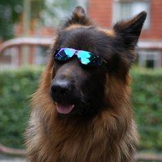 German Shepherd Incognito Dog