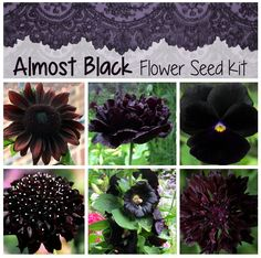 This is a close as it gets to black. A very unique seed collection of natural dark, near black Flowers. Makes an unusual Gift for the person that lik