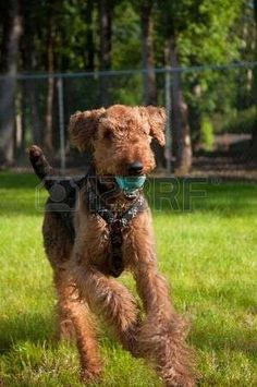 airedale: Airedale terrier running in the backyard with a blue ball in his mouth Stock Photo