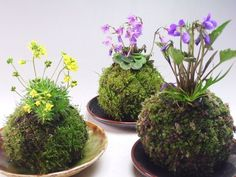 "Surprise your customers by presenting your plants ""Kokedama-style""; Japans most popular technique. Kokedama is a Japanese Bonsai-style and Japanese term for moss balls as well."