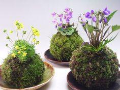 Des petits jardins suspendus ou des plantes Zen, voice la nouvelle tendance en direct du Japon : Le Kokedama! Présentez vos plantes dans le style Kokedama et surprenez vos clients par cette technique très populaire au Japon. Kokedama signifie litéralement boule de mousse.