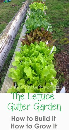 Lettuce Gutter Garden: How to Build It, How to Grow It!