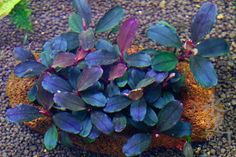 Bucephalandra  Brownie phantom Bucephalandra Brownie Phantom 001 bucephalandra-species Bucephalandra - Export Import Plants & Fish Indonesia