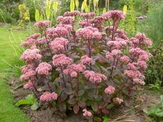 Hylotelephium telephium 'Matrona' (Autumn Stonecrop) typically grows in upright, vase-shaped clumps up to 30 inches (75 cm) tall...