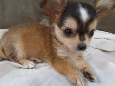 My baby Koko...This chihuahua is so adorable! #chihuahua #puppy #cuteness #love