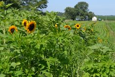 #Sunflowers at the #JPParkerFlowers farm! #FlowerPower www.jpparkerco.com