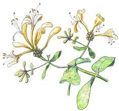 Doodlewash and watercolor sketch of honeysuckle of Marches Country Lady Honeysuckle Tattoo, Honeysuckle Flower, Watercolor Sketch, Watercolor Artists, Animal Medicine, Mom Tattoos, Art Uk, Botanical Art, Art Sketchbook