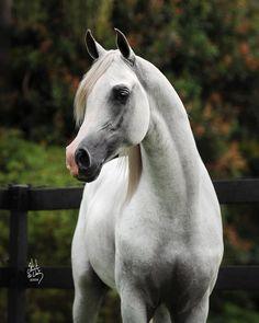 #horses  Arabian