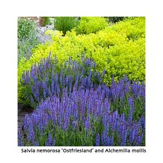 Salvia nemorosa 'Ostfriesland' with Alchemilla mollis - for more gorgeous planting combinations for early summer, visit http://www.chilterngardendesign.com/gorgeous-planting-combinations-for-june/