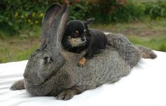 A Flemish giant rabbit and a dog.