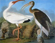 Audubon: Ibis - Google Search