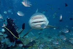 http://sharkdivers.blogspot.com/2015/06/win-week-of-diving-with-bull-sharks.html