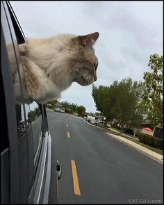 CAT GIF • Amazing Cat chilling on windows car with fur in the wind like a dog