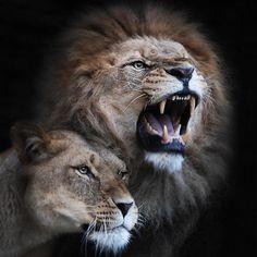 Lion Couple.