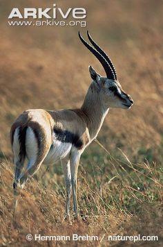 Thomson's gazelle, male - View amazing Thomson's gazelle photos - Eudorcas thomsonii - on Arkive Thomson Gazelle, African Antelope, Prehistoric Dinosaurs, African Theme, Wave Art, Mammals, Reptiles, African Animals, Kangaroo