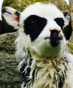 Sheep has black eyes and nose and mouth