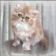 Talshiar Lilac Lace ... lilac-cream-tabby female kitten