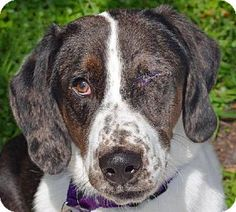St. Petersburg, FL - Corgi/Basset Hound Mix. Meet Cooper, a dog for adoption. http://www.adoptapet.com/pet/11513875-st-petersburg-florida-corgi-mix