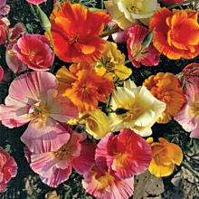 How to Grow Poppies from Seeds - Growing Poppies from Seed - West Coast Seeds Growing Poppies, Mission Bell, California Poppy, My Secret Garden, Flower Seeds, Color Mixing, Perennials, Planting Flowers, Beautiful Flowers