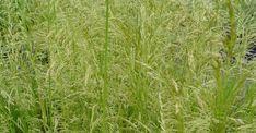 Deschampsia cespitosa 'Goldschleier' op vasteplant.be