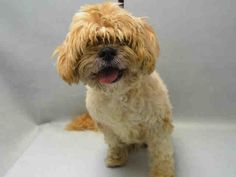 SAFE 5-10-2016 by Friends of Homeless Animals. --- SUPER URGENT Brooklyn Center PUGGY – A1071538  FEMALE, GOLD, POODLE MIN MIX, 3 yrs STRAY – STRAY WAIT, HOLD FOR ID Reason STRAY Intake condition EXAM REQ Intake Date 04/26/2016