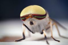 Esta mosca listrada (Tabanus lineola) é encontrada em partes dos Estados Unidos e no Golfo do México. (Foto: SPL/Barcroft Media /Sinclair Stammers)