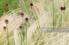 Image result for Allium sphaerocephalon