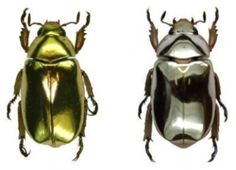 Brilliant gold- (and silver-colored beetles have given optics researchers new insights into the way biology can recreate the appearance of some of nature's most precious metals, which in turn may allow researchers to produce new materials based on the natural properties found in the beetles' coloring.