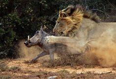 Lion Attack - Google Search