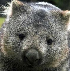 it's a wombat.one of our favorite stories is Diary of a Wombat. Wombat Pictures, Animal Pictures, Animals And Pets, Baby Animals, Cute Animals, Wild Animals, Cute Wombat, The Wombats, Australia Animals