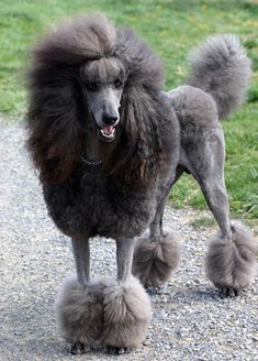 Beautiful poodle