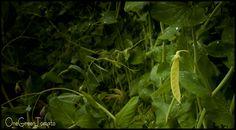 Golden Peas
