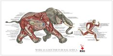 Elephant Muscle Anatomy 20 question tuesday: 207 - jason masters — 20 questions tuesday