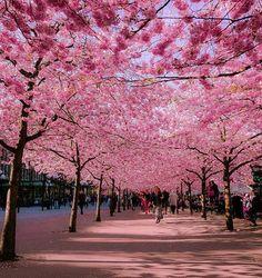 Que tal passear entre as cerejeiras em flor?