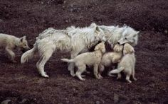 Why pups like to be in your face. In the wild,The parents bring back digested food and regurgitate it , instant puppy food. Wolf Husky, Wolf Pup, Wolf Love, Beautiful Creatures, Animals Beautiful, Of Wolf And Man, Canis, Baby Animals, Cute Animals