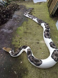 A pied Reticulated python. One awesome looking snake--thats a weird but beautiful puppy Pretty Snakes, Beautiful Snakes, Most Beautiful Animals, Beautiful Creatures, Reptiles Et Amphibiens, Cute Reptiles, Beaux Serpents, Serpent Animal, Natur Wallpaper