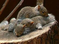 Cute Baby Squirrel Napping On Tree Stump – Katrine - Baby Animals Cute Squirrel, Baby Squirrel, Squirrels, Nature Animals, Animals And Pets, Wild Animals, Beautiful Creatures, Animals Beautiful, Beautiful Beautiful