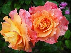 Rosa, Natureza, Flor, Flores
