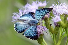 Blue Metalmark : Rio Grande Valley Butterflies