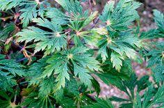 downy Japanese maple 'Aconitifolium'