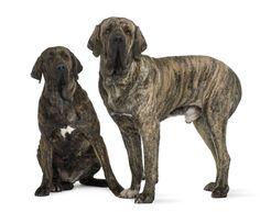 www.petclic.es la mayor tienda online de productos para #mascotas. La mayor biblioteca de contenido y consejos sobre mascotas. 1.000 consejos. 50.000 imagenes. Foto del #perro fila brasileño