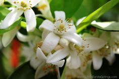 Orange Blossoms in Bonita Springs, Florida.