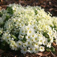 Primrose Primula vulgaris - one of the first spring flowers, our native primrose will look lovely in a woodland garden Woodland Plants, Woodland Garden, Bog Garden, Garden Care, Ground Cover Plants, Primroses, Cold Frame, Low Maintenance Plants, Wildflower Seeds