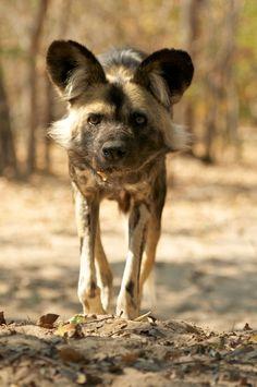 African Wild Dog by Seb Loram