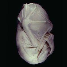 Bat embryo...