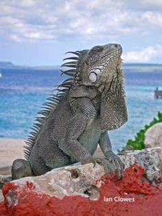 Iguanas roam around everywhere on St. Thomas